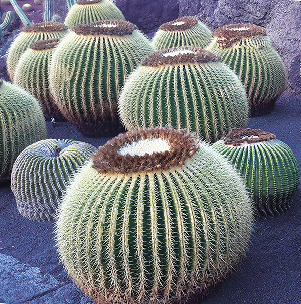 Cactus Pouffes Greetings Card